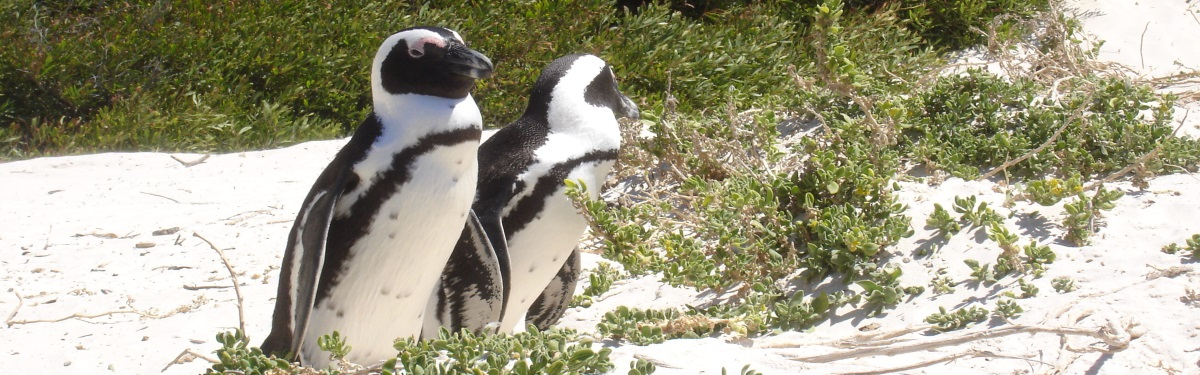 Pinguins-in-Boulders-Beach-Südafrika-Reisen